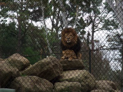 DISCOVERY KINGDOM ライオン
