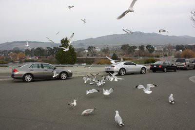 駐車場の鳥